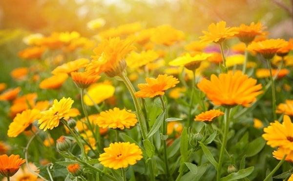 calendula blooms