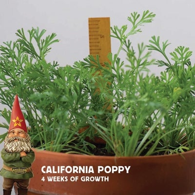 california poppy at four weeks of growth