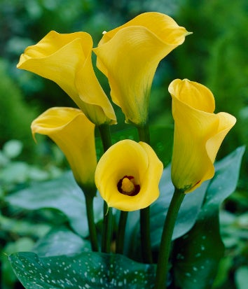 best gold calla lily