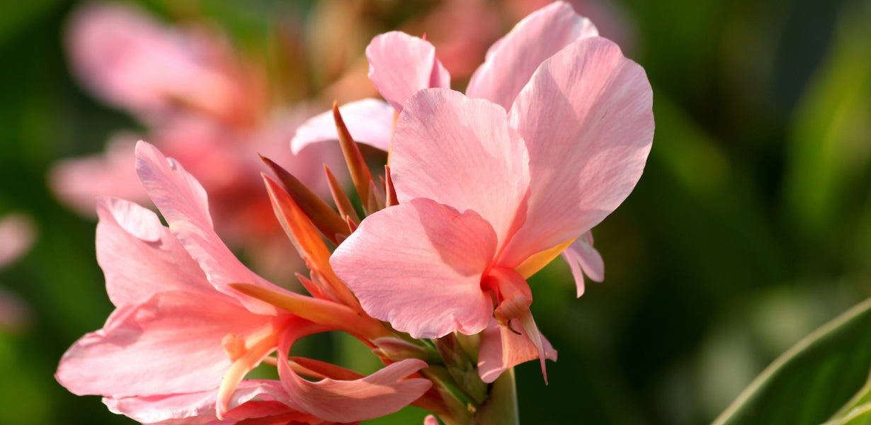 pink canna bloom