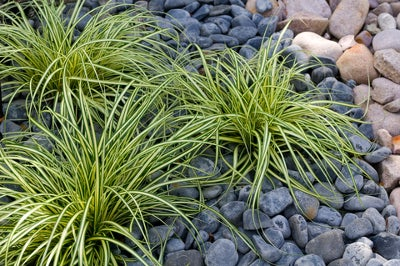 carex planted in a rock garden