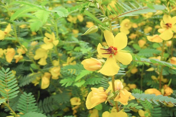 Partridge Pea is a wonderful pollinator-attracting annual with bright yellow blooms.