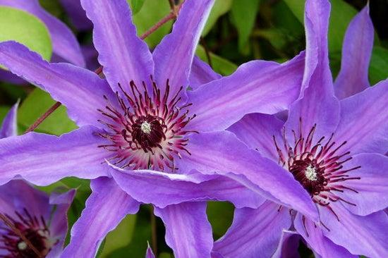 purple clematis in bloom