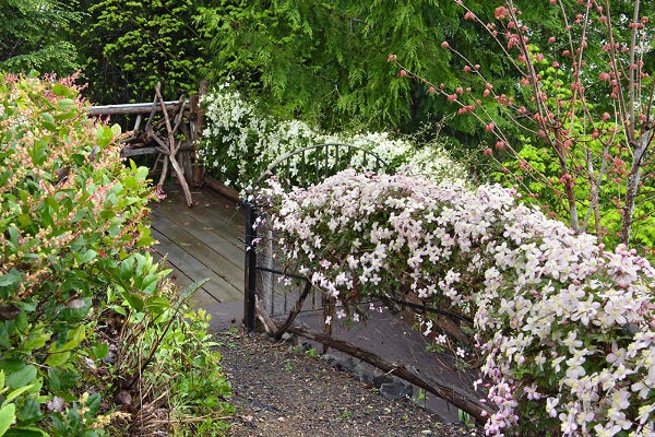 clematis lining a garden gate