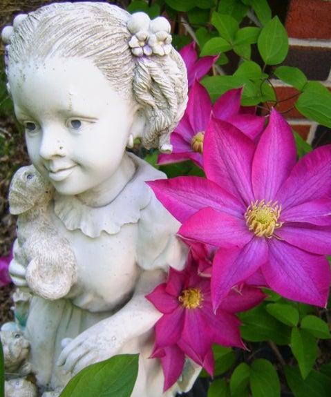 Clematis 'Ernest Markham' in bloom.