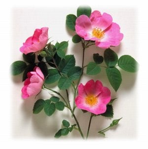 nearly wild roses