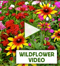 wildflower video