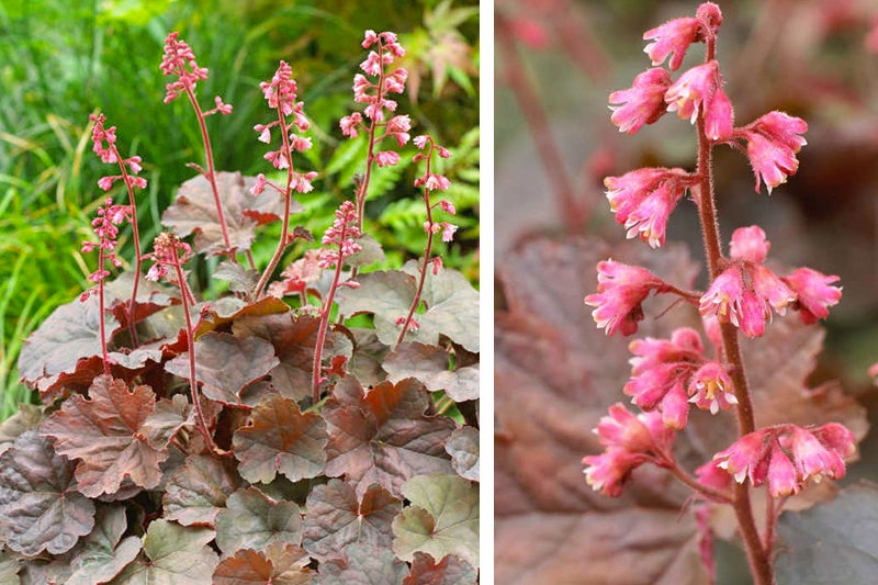 coral bells cassis