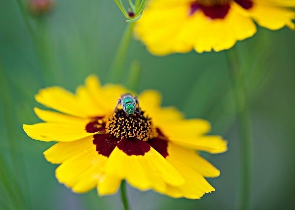 polinator on a coreopsis