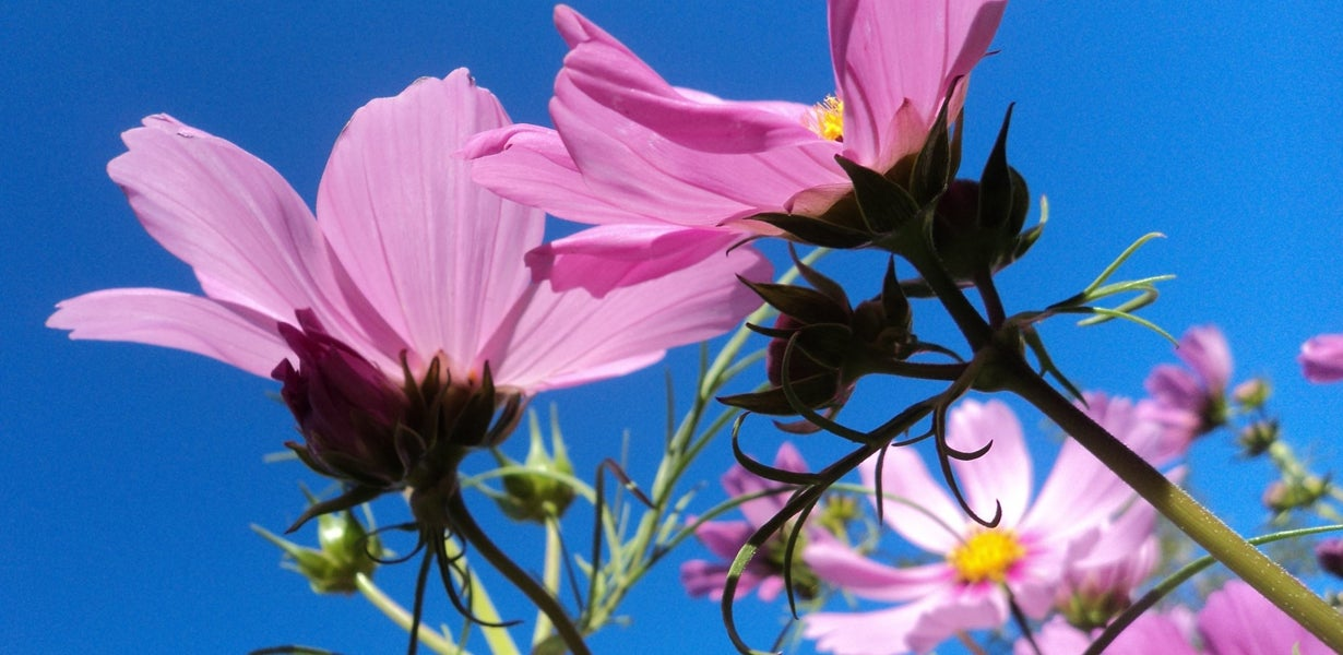 pink cosmos blooms
