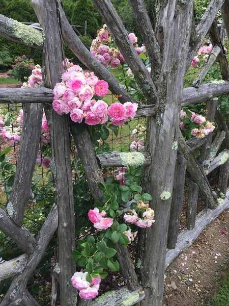 roses over fences