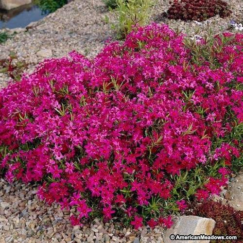 Creeping Phlox Scarlet Flame