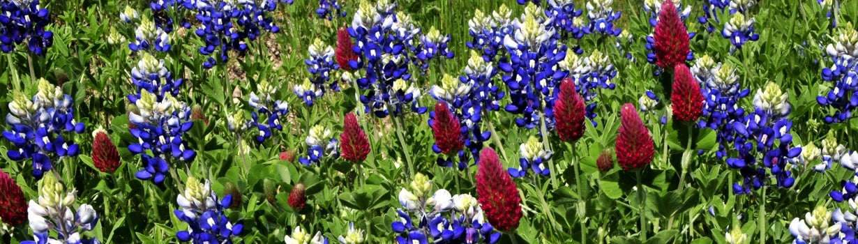 crimson clover and texas bluebonnet aka lupine