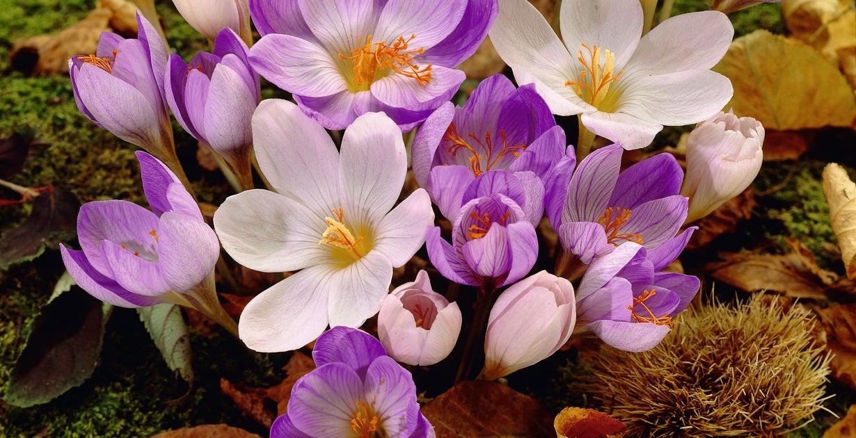 Crocus Mix Blooming