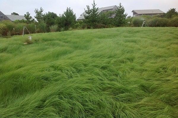 Weeping Love Grass