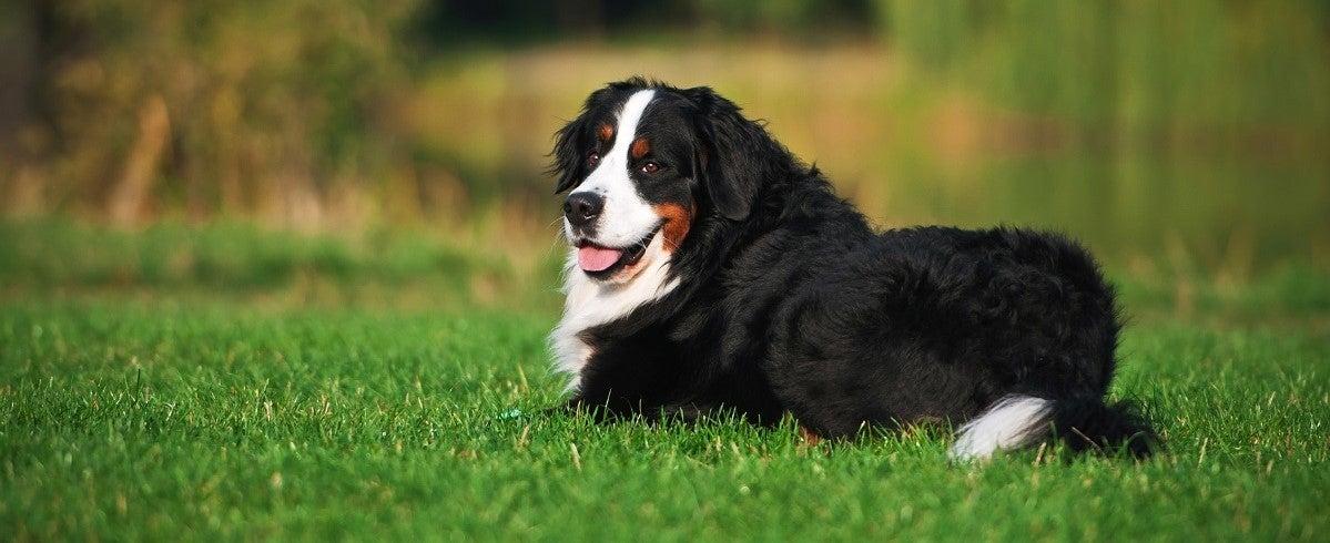 Bermuse Mountain Dog laying in a beautiful green lawn