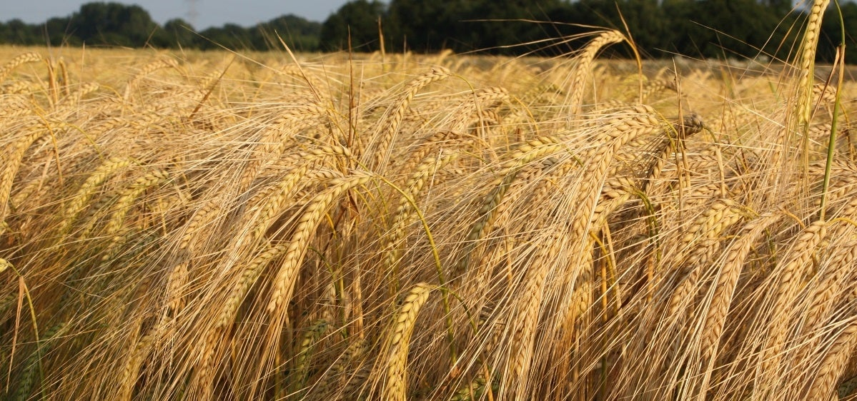 Reclamation Seed | Big Sky Wholesale SeedsBig Sky ...  |Smooth Bromegrass Seed