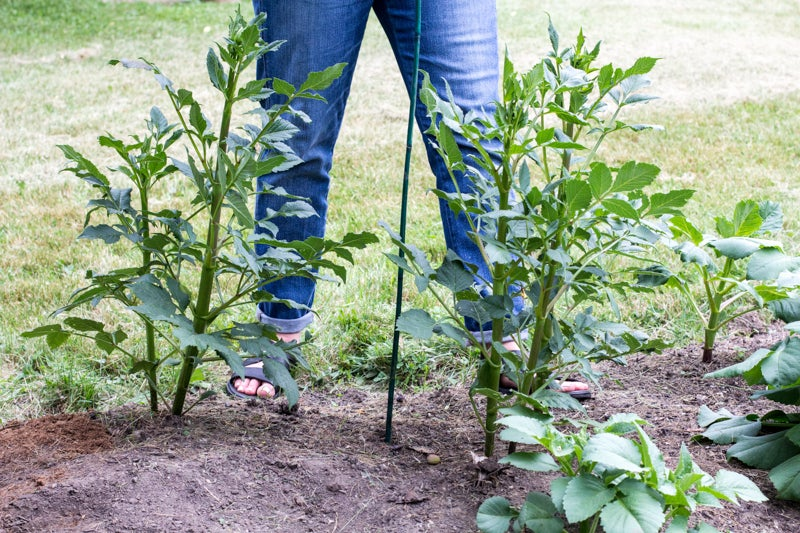 staking dahlia plants before they bloom