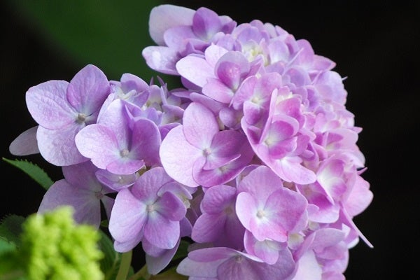 Hydrangea can have a range of meanings from understanding to callousness.