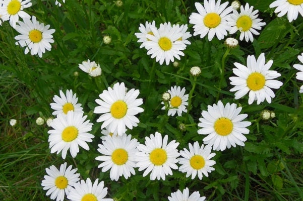 White Daisies symbolize innocence