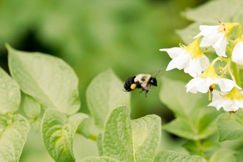 bee pollinating potato flower