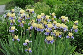 bearded iris in bloom planted in sandy soil