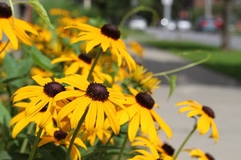 black eyed susan in bloom