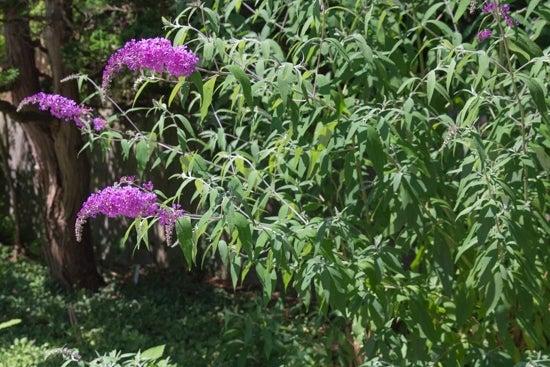 butterfly bush in blooms
