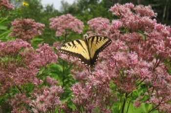 joe pye weed in bloom with swallowtail
