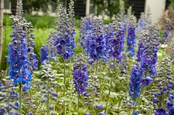 larkspur or delphinium in bloom planted in shade in sandy soil
