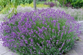 lavender phenomenal in bloom planted in sandy soil