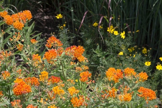 milkweed and coreopsis in bloom