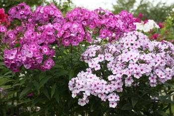 pink phlox in bloom planted in sandy soil