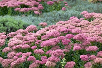 sedum autumn joy in bloom