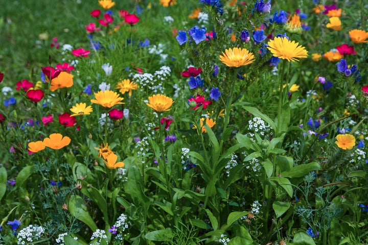 wildflower seeds in bloom