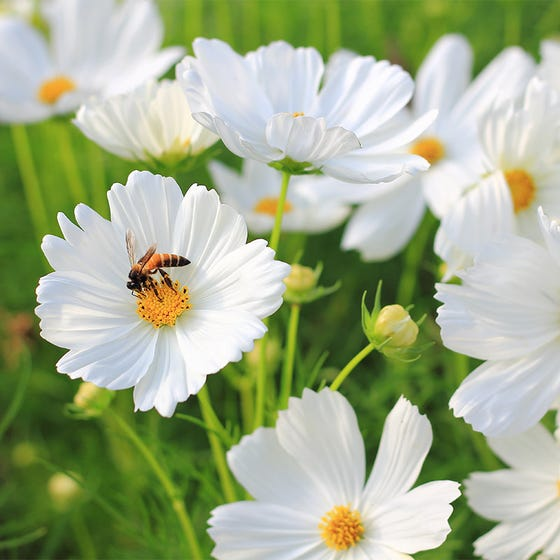 White Cosmos and Bee