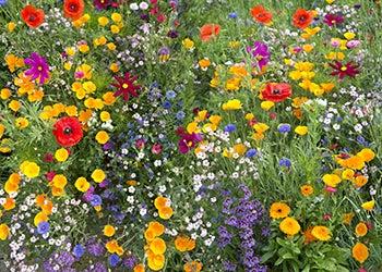 Wildflower seeds on sale