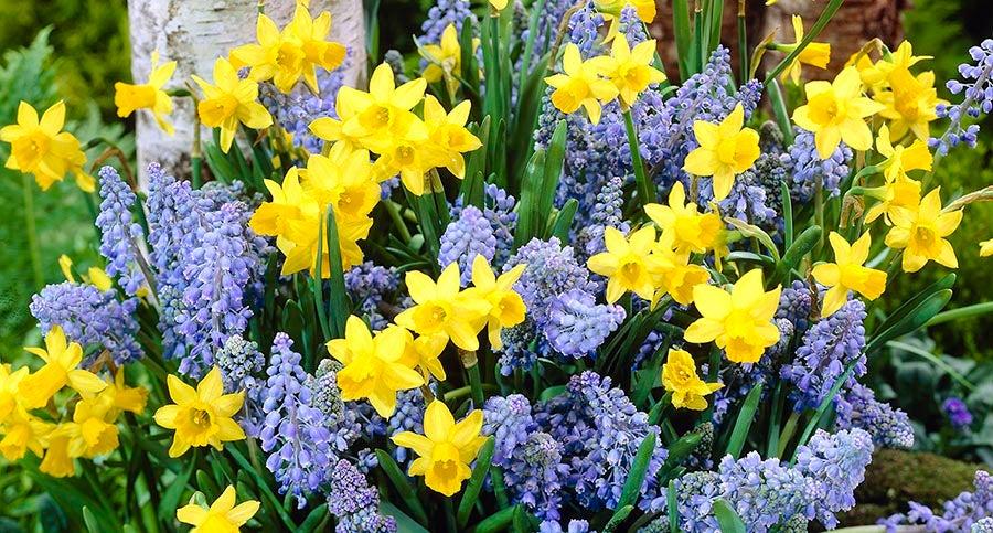 Tulips, Daffodils, Grape Hyacinths