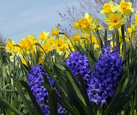 daffodils hyacinths