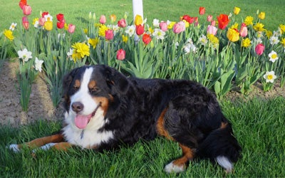 dog sitting next to a bed of tulips
