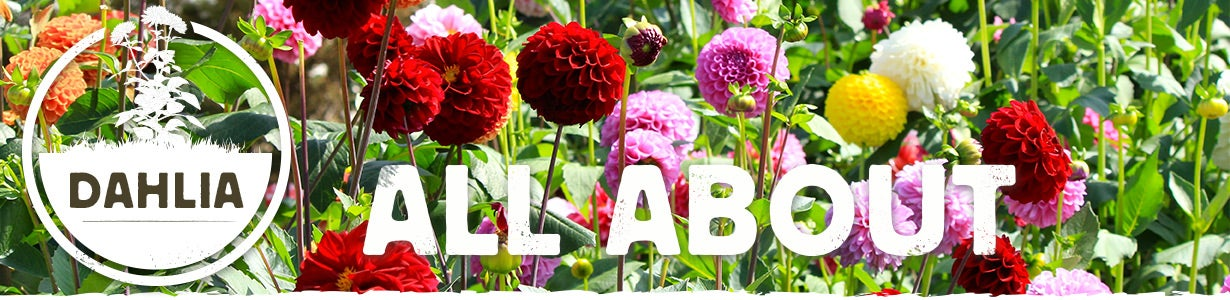 all about dahlia