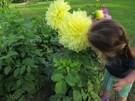 girl smelling yellow dahlia bloom
