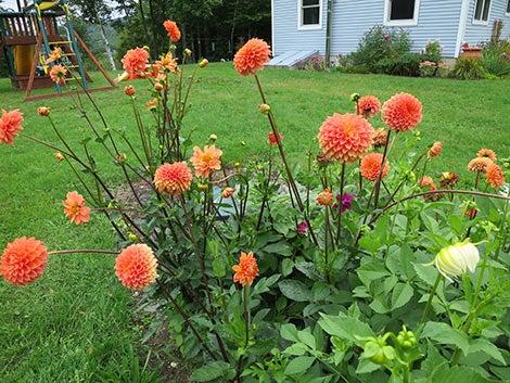 orange dahlia blooms