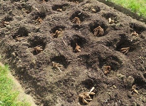 dahlias in soil bed