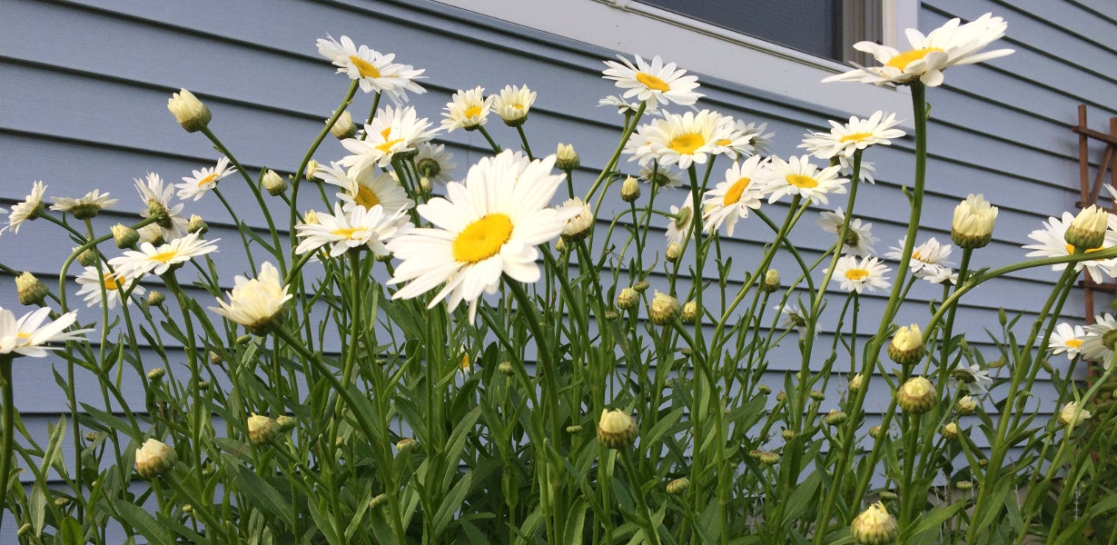 daisies next to house