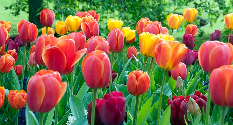 Red Oxford & Golden Oxford Tulips