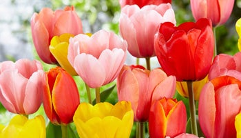 darwin hybrid tulips