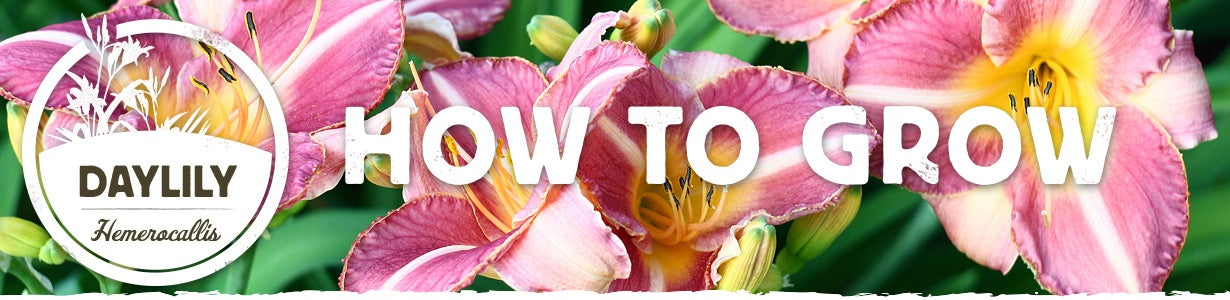 how to grow daylily