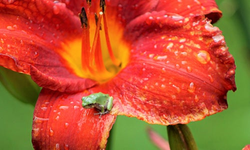 daylily with tiny frog