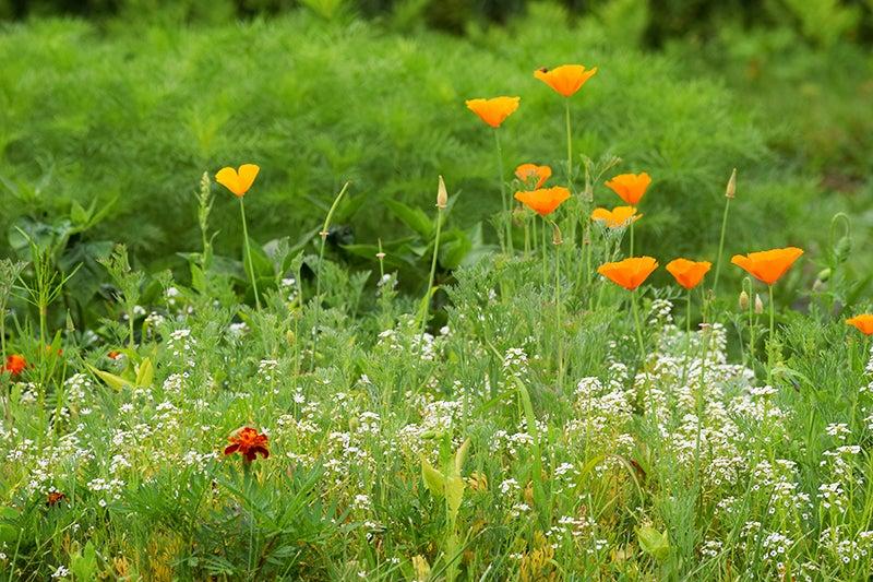 deer resistant wildflower meadow